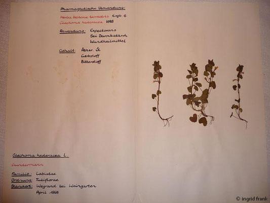 (98) Glechoma hederacea - Gundermann