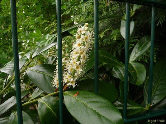 Prunus laurocerasus - Pontische Lorbeerkirsche