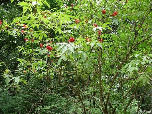 Sambucus racemosa - Trauben-Holunder, Berg-Holunder