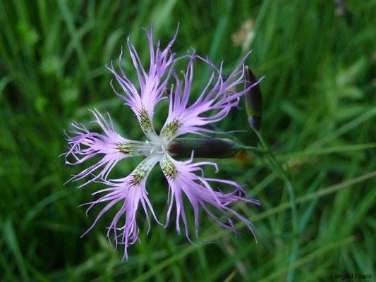 Dianthus superbus / Pracht-Nelke    VI-X