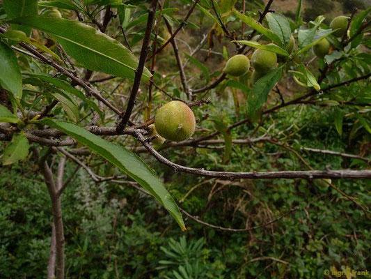 Prunus persica - Pfirsich