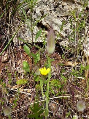 Lagurus ovatus - Samtgras, Hasenschwänzchen