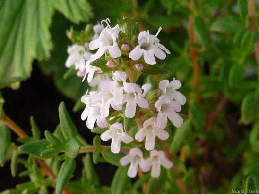 Thymus vulgaris / Echter Thymian, Gewürz-Thymian     V-X