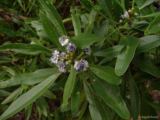 Globularia salicina - Weidenartige Kugelblume