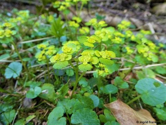 Chrysosplenium alternifolium / Wechselblättriges Milzkraut