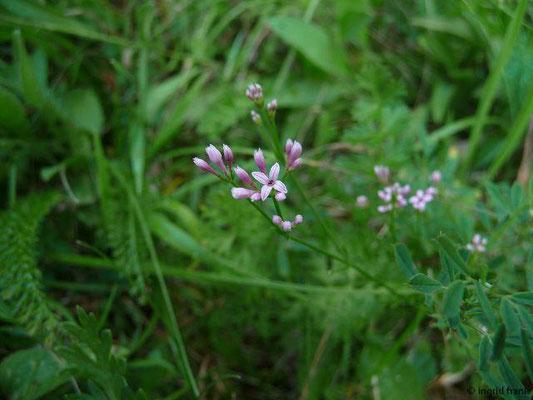 Asperula cynanchica / Hügel-Meier