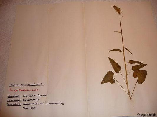 (122) Phyteuma spicatum - Ährige Teufelskralle