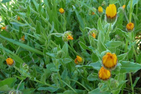Calendula arvensis - Acker-Ringelblume
