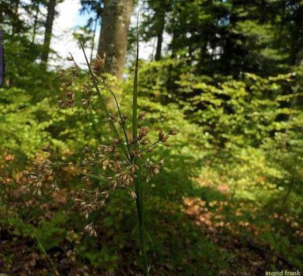 Lzuzla luzuloides ssp. luzuloides Gewöhnliche Weissliche Hainsimse