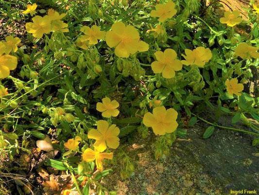 Helianthemum alpestre / Alpen-Sonnenröschen  (Botanischer Garten Leipzig)