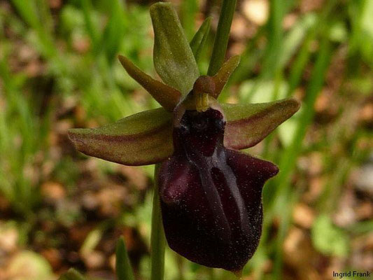 01.04.2013, Ophrys - Ragwurz