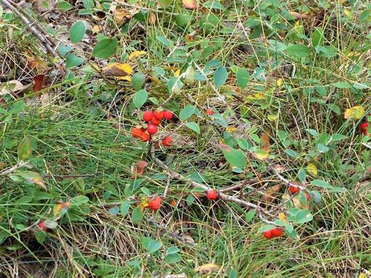 Cotoneaster integerrimus / Gewöhnliche Zwergmispel