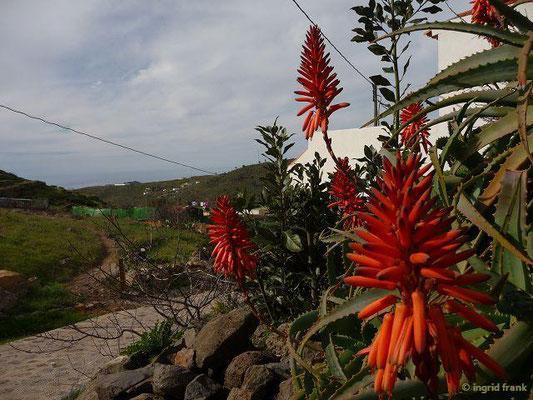 Aloe arborescens - Baumartige Aloe (La Gomera)