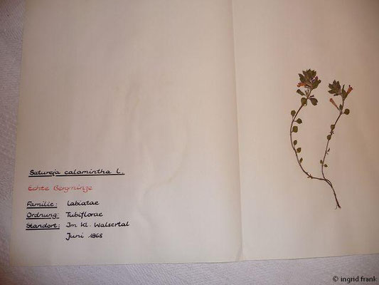 (105) Satureja calamintha - Echte Bergminze
