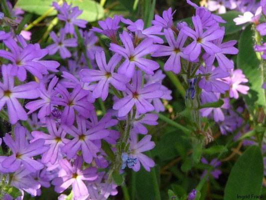 Erinus alpinus / Alpenbalsam