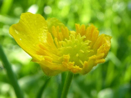 Ranunculus auricomus - Gold-Hahnenfuß
