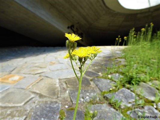 Pilosella pilloselloides - Florentiner Habichtskraut