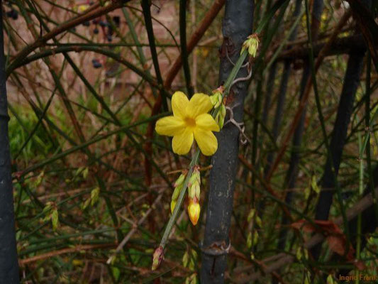 Jasminum nudiflorum - Winter-Jasmin