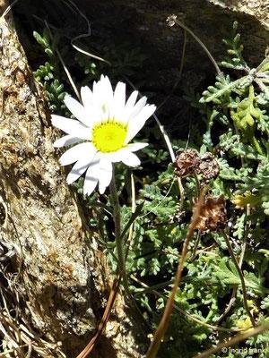 Leucanthemopsis alpina / Alpenmargerite