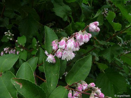 Deutzia scabra - Raue Deutzie (im eigenen Garten)