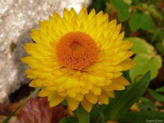 Helychrysum bracteatum - Garten-Strohblume