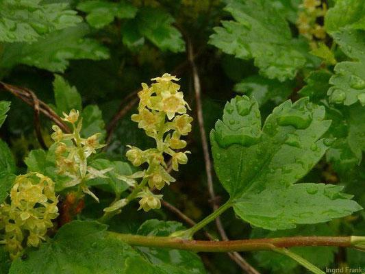 Ribes alpinum - Alpen-Johannisbeere    IV-V