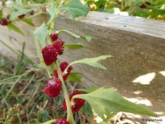 Echter Erdbeerspinat / Chenopodium foliosum