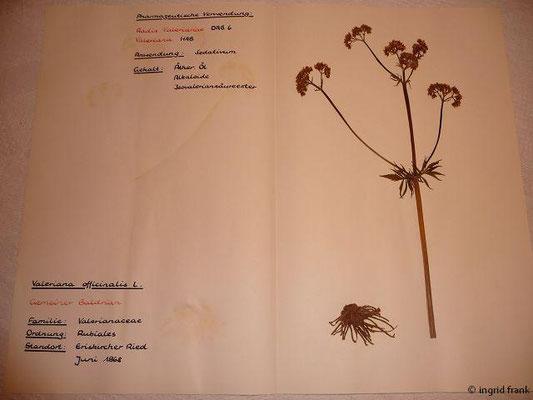 (120) Valeriana officinalis - Gemeiner Baldrian