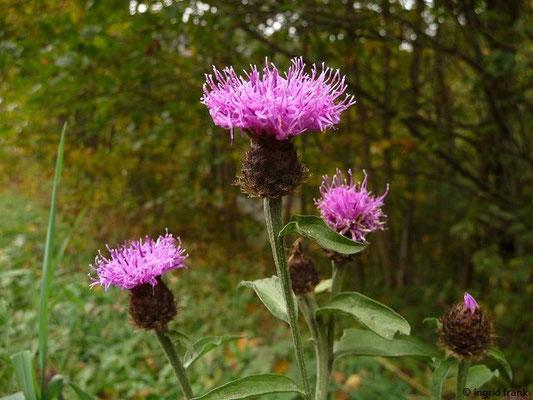 Centaurea nemoralis / Hain-Flockenblume