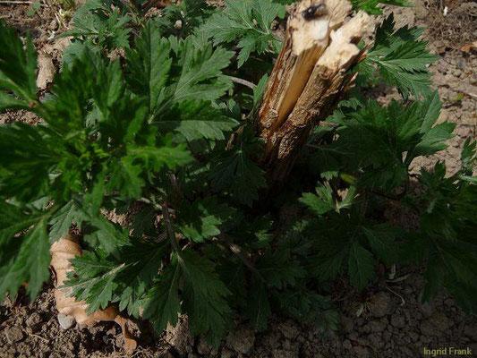 Artemisia vulgaris - Gewöhnlicher Beifuß  (VII-X)