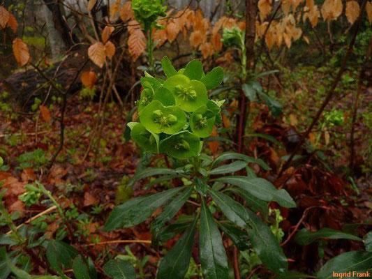 Euphorbia amygdaloides - Mandel-Wolfsmilch    IV-V