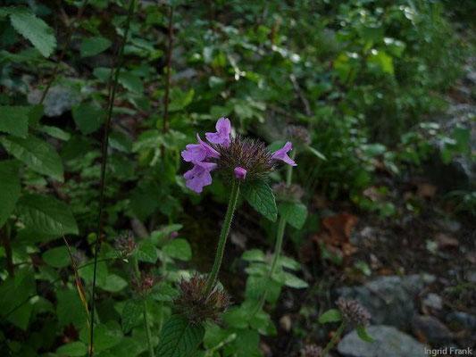 Clinopodium vulgare - Gewöhnlicher Wirbeldost