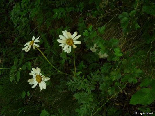 Tanacetum corymbosum / Gewöhnliche Straußmargerite    VI-VIII