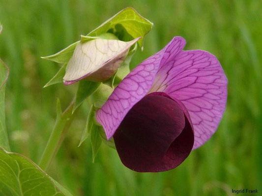 Pisum sativum - Erbse