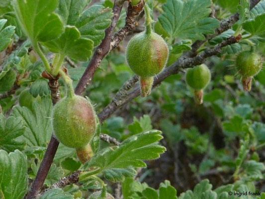 30.04.2014 - Ribes uva-crispa / Stachelbeere   (Obst)