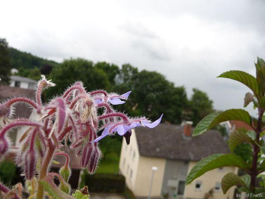 25.06.2013-Borago officinalis - Boretsch