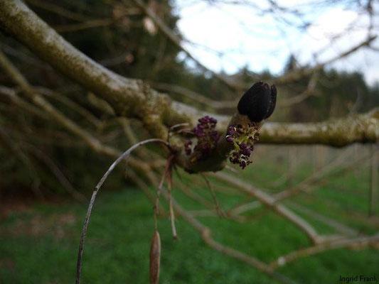 Fraxinus excelsior - Gewöhnliche Esche