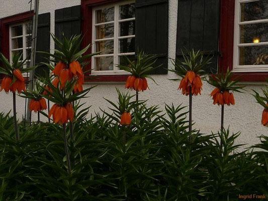 03.04.2014-Fritillaria imperialis - Kaiserkrone (Garten in Baumgarten)