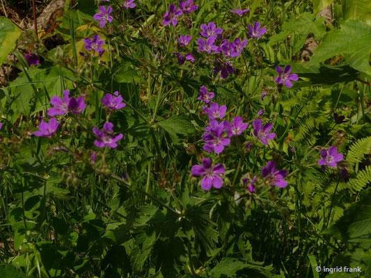 Geranium sylvaticum - Wald-Storchschnabel