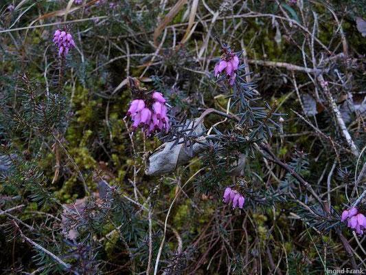 Erica carnea / Schnee-Heide