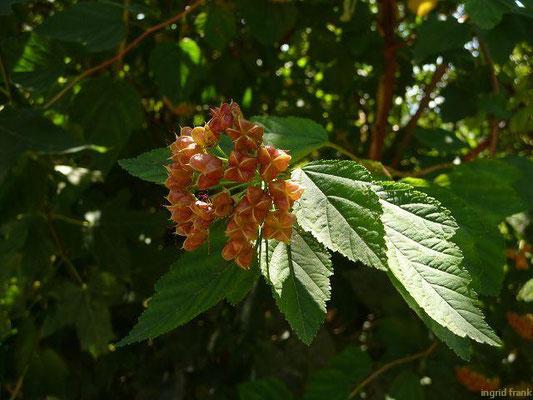 Physocarpus opulifolius - Schneballblättrige Blasenspiere