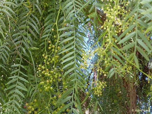 Schinus molle - Peruanischer Pfefferbaum