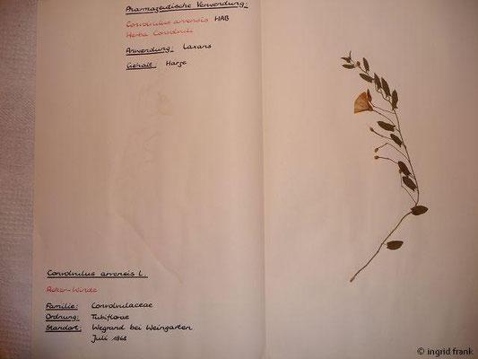 (91) Convolvulus arvensis
