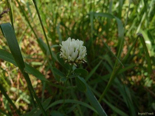 Trifolium alexandrinum - Alexandriner Klee