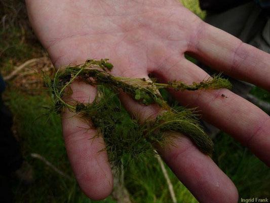Urticularia australis - Südlicher Wasserschlauch