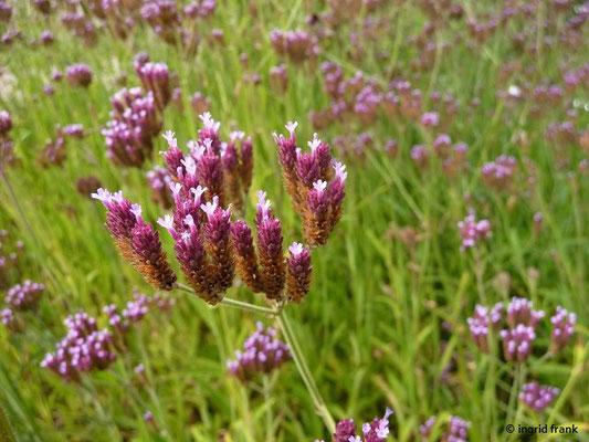 Verbena bonariensis - Argentinisches Eisenkraut (Botanischer Garten Universität Heidelberg)