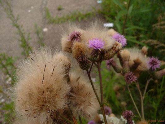 19.07.2012-Cirsium arvense - Acker-Kratzdistel