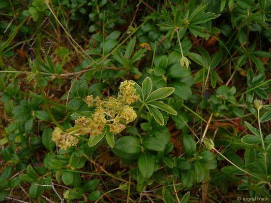 Alchemilla alpina aggr. / Artengruppe Alpen-Frauenmantel