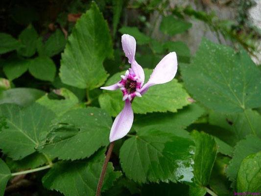 16.09.2010-Cyclamen hederifolium - Alpenveilchen