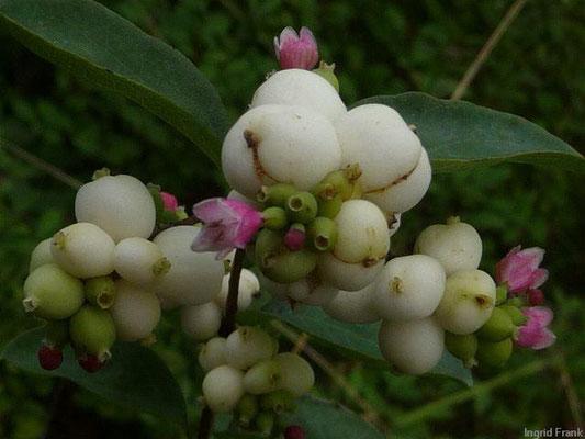 Symphoricarpus albus / Weiße Schneebeere, Knallerbse